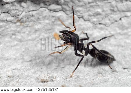 Macro Photography Of Ant Mimic Jumping Spider On The Wall