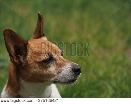Portrait Of A Jack Russell Terrier On A Green Meadow