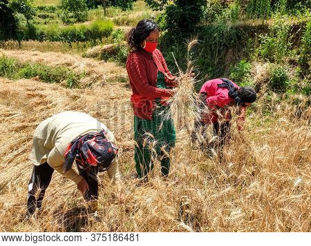 Mandi, Himachal Pradesh / India - June 08 2020: Indian Women Which Are Cutting Wheat With Wearing Fa