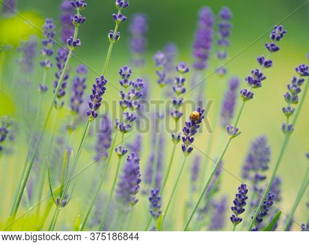 Small Ladybug Coccinellidae In A Field Of Lavender Lavandula Angustifoli Using As Natural Summer Bac