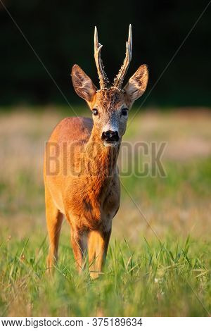 Interested Roe Deer Buck Standing On Meadow During In Summer At Sunset.