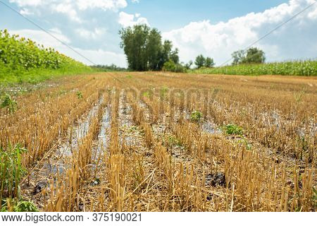 Wheat Field After Harvesting By Combine. Clipped Wheat. Wheat Harvest Season