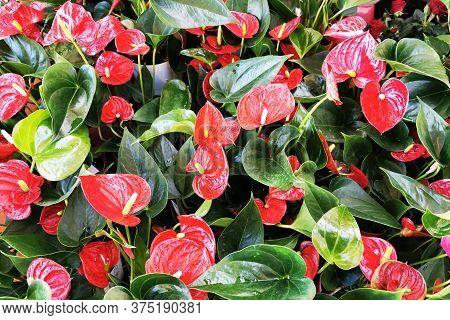 Red Anthurium Flowers
