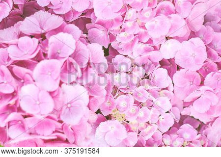 Pink Tender  Hydrangea Flower Bouquet Cropped Farme.