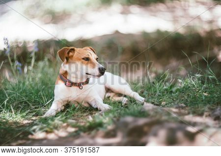 Jack Russell Terrier Dog Lying On A Grass Outdoor Near The House. Companion Dog.