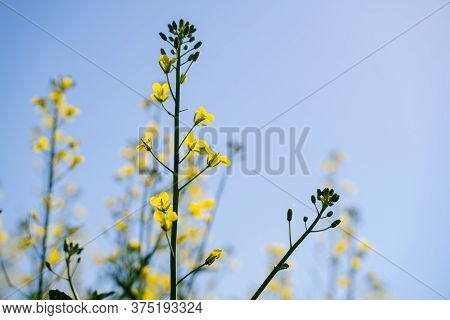 A Single Branch Of Blooming Rapeseed, Blooming Canola, Yellow Flowers In Spring