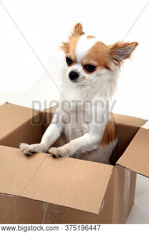 Chihuahua In The Paper Box