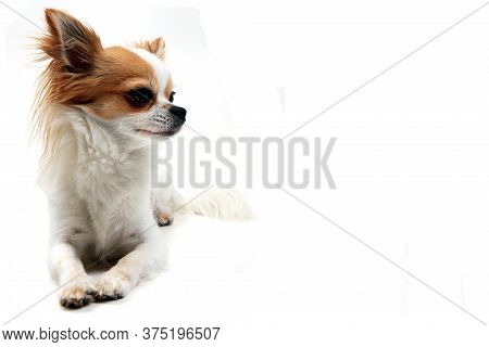 Portrait Of Small Smart Chihuahua