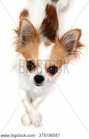 Portrait Of Small Smart Chihuahua Isolated On The White Background