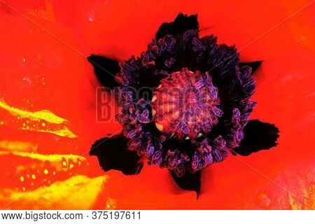 Detail Of Red Poppy Flower As Very Nice Background