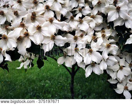 Cronus Cousa Plant Flowers