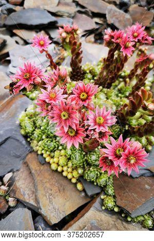 Houseleek Flower Plant