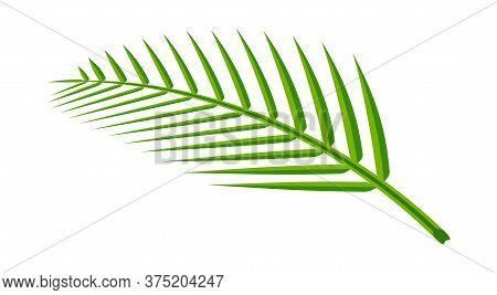 Coconut Leaf Simple Isolated On White, Illustration Of Coconut Leaves, Palm Stalk Lush, Leaf Coconut