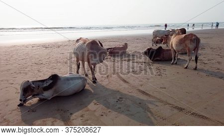 Cows On The Beach In India, Cows Resting On A Beach In Goa. Holy Indian Cows Resting On The Sea Beac