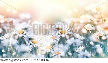 Beautiful Nature, Daisy Flower In Meadow Lit By Sunlight, Flowering Flower In Spring