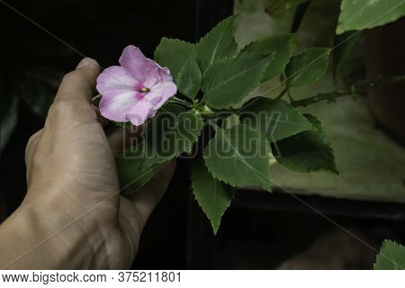 Holding A Pink Flower In Hand, Stock Photo