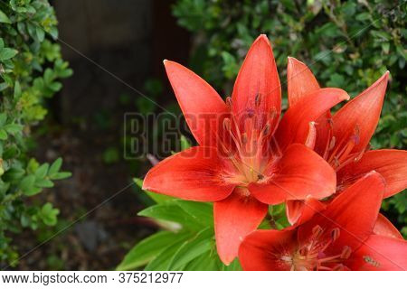 Cloe Up With The Stamen Of A Red Lily Flower.big Red Wild Lily On A Green Background