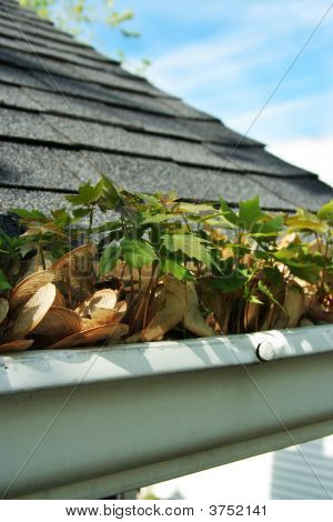 Maple seeds growing out of home gutter - time for cleaning. poster