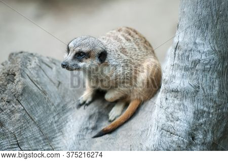 Meerkat (suricata Suricatta). Program For The Conservation Of Rare And Endangered  Species Of Animal