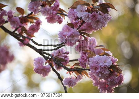 Close-up Of Cherry Blossoms, A Summer Day