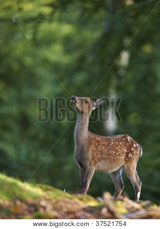 Bambi Image Of A Young Deer