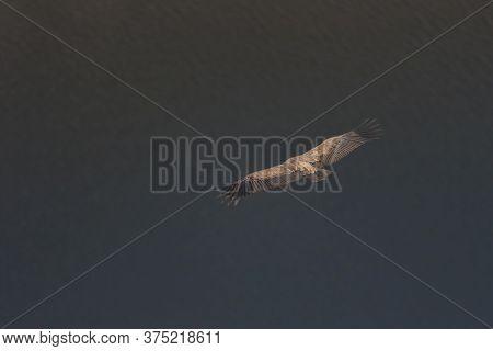 Griffon Vulture On Flight In Monfrague National Park, Extremadura.