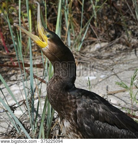 Great Cormorant Phalacrocorax Carbo On Black Sea Beach
