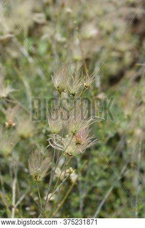 Ache Plume Seed Head - Latin Name - Fallugia Paradoxa