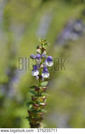 Somerset Scullcap Flower - Latin Name - Scutellaria Altissima