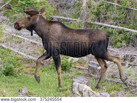 Wild Moose Living In The Forests Of The Colorado Rocky Mountains. Moose Calf In Tall Grass