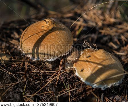 Forest Mushrooms In The Evening In The Forest On A Background Of Old Foliage, Close-up. Autumn Harve