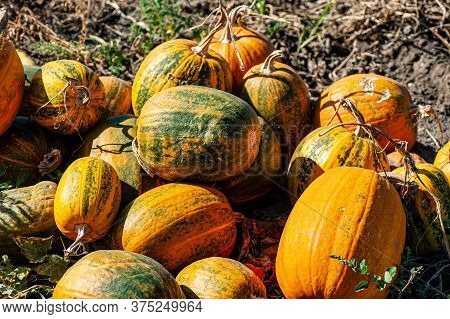 Pumpkins Collected On The Field Outdoors On A Sunny Day. Autumn Harvest.