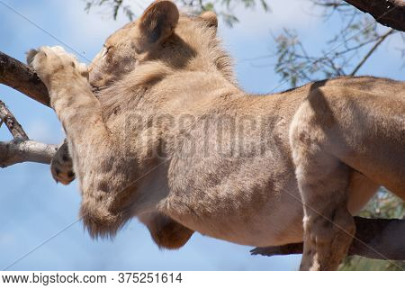 A Big Female Lion Hanging Over A Branch In A Tree With Her Legs Hanging Down