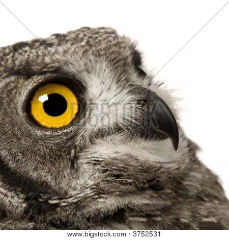 Spotted Eagle Owl Bubo Africanus