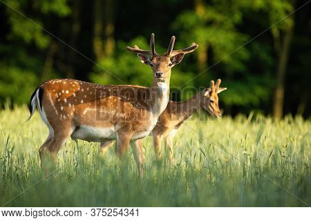 Pair Of Fallow Deer Stags Standing On Meadow In The Summer.
