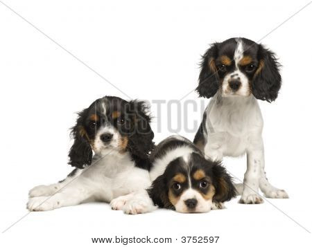 puppies Cavalier King Charles Spaniel (3 months) in front of a white background poster