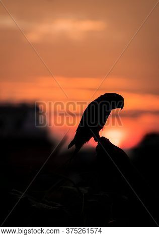 Silhouetted Rose-ringed Parakeet Against The Setting Sun.