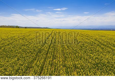 Aerial View Of Canola Field During Bloom In A Spring Landscape