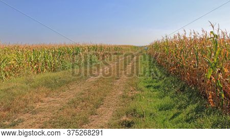 Dirt Road Through Maize Corn Field For Agricultural Use