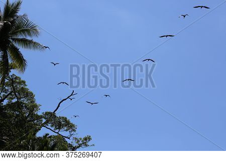 Pelicans In Flight, In The Corcovado Park In Costa Rica. High Quality Photo