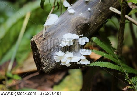 Colony Of Small Mushrooms In The Corcovado Park In Costa Rica. High Quality Photo