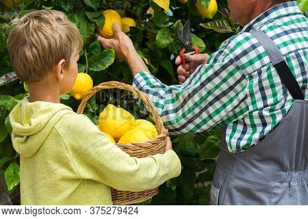 Senior Farmer, Man, Grandfather With Young Boy, Grandson Harvesting Lemons From The Lemon Tree In Th