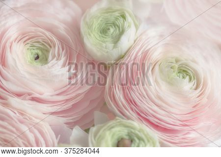 Soft Floral Background. Beautiful Pink Buttercups Close Up. Pastel Colored Ranunculus Flower Bouquet