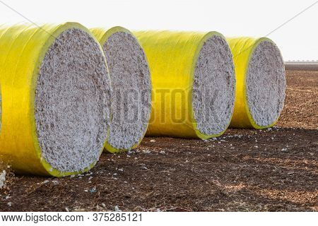 Cotton Bales In Bright Yellow Protective Wrap. Round Cotton Bales In The Field After Being Harvested
