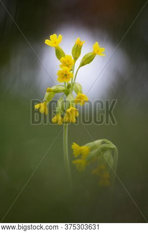 One Of The First Growing Spring Flowers. Close-up Yellow Blooming Flowers. Primula Veris. Awakening