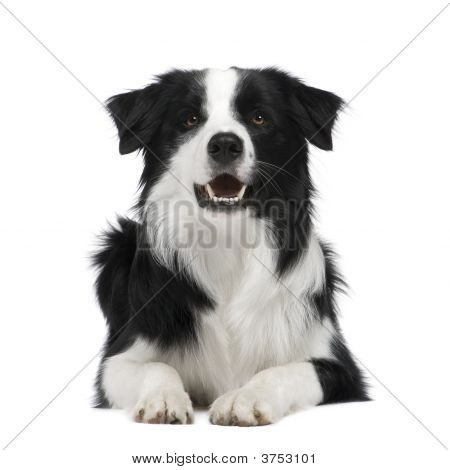 Border Collie Breed (15 months) in front of a white background poster