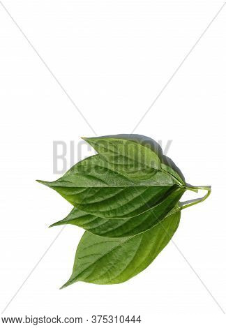 Paederia Foetida Or Skunk Vine, Stinkvine Leaves Isolated On White Background With Copy Space For Te