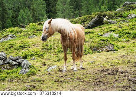 Haflinger Mountain Horse, Breed Of Horse Developed In Austria
