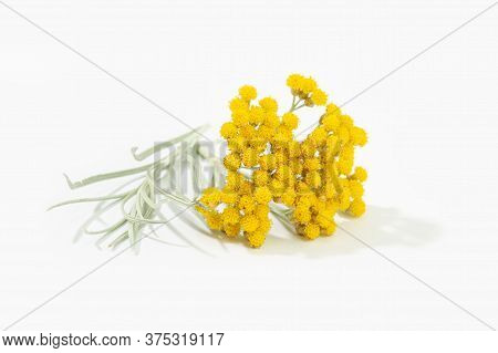Helichrysum Italicum Plant With Flower In Bloom Isolated On White Background. Curry Plant
