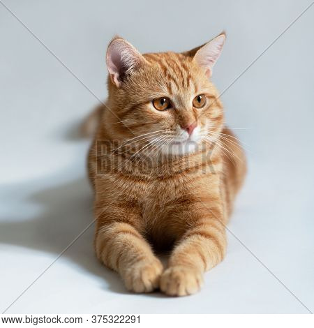 Orange cat. Portrait of tabby ginger cat over white background. Adorable pet posing at studio. Cute domestic animal.